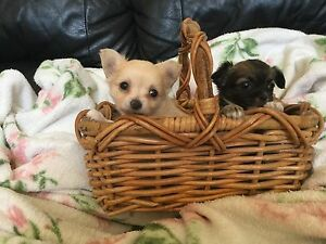 Chihuahua Puppy Pure bred long haired Leeming Melville Area Preview