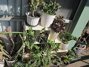 Indoor Outdoor Exotic Pot Plants- Cacti, Succulents, Haworthias Chatswood Willoughby Area Preview