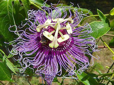 `MAYPOP PURPLE PASSION FLOWER LIVE PLANT VINE (INCARNATA X CINCINNATA) INCENSE