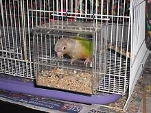 Cinnamon Green Cheek with large cage Gawler South Gawler Area Preview