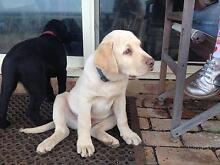 Yellow labrador puppy for sale Tyrendarra Glenelg Area Preview