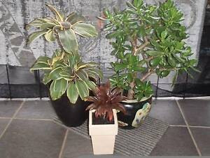 CRASSULA & CORDYLINES Casula Liverpool Area Preview