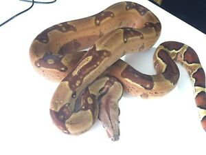 Male Salmon Jungle Het Kahl Coral Albino Boa - 2015