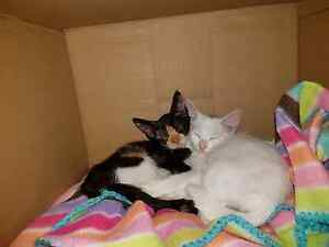 Kittens 2x female Doonside Blacktown Area Preview