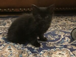 Beautiful fluffy black kitten looking for a new family