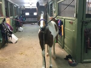 Paint filly 1350