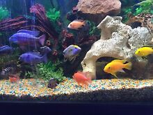 CHEAP PEACOCK CHICLIDS, will consider swap! Sylvania Sutherland Area Preview