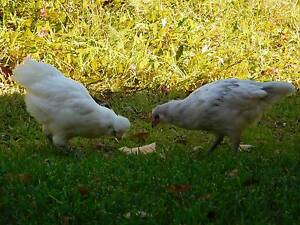 9 week old purebred araucana chickens. Pickup only. $5.00 each Kew Port Macquarie City Preview