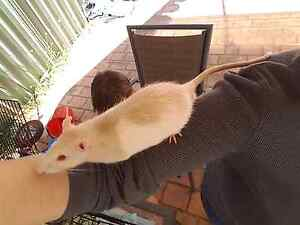 Female Rat Free Leumeah Campbelltown Area Preview