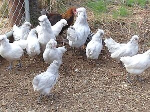 Araucana chickens Macclesfield Mount Barker Area Preview