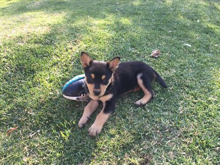 Pure bred kelpies puppies