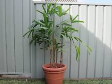 HOUSE PLANT - INDOOR- RAPHIS PALM LARGE Charlestown Lake Macquarie Area Preview