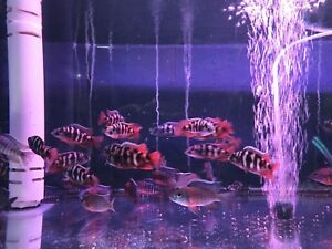 New Arrival Cichlids Fish