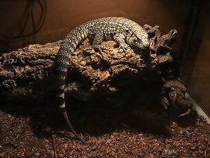 BLACK AND WHITE ARGENTINIAN TEGU
