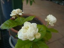 1XChinese Emperor Jasmine cutting plant / beautiful fragrance虎头茉莉 Taree Greater Taree Area Preview