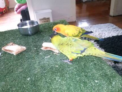 Handraised conures, inside aviary, playgym and lots of toys Laidley Lockyer Valley Preview