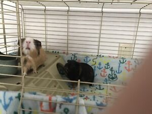 2 Male Guinea Pigs with Cage and Food