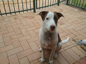 Border Collie x Kelpie 8months old For Sale Bracken Ridge Brisbane North East Preview