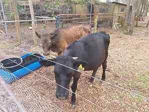 2 cows for sale Penrith Penrith Area Preview