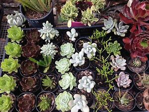 Succulents Terrigal Gosford Area Preview