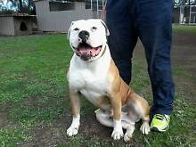 Johnson American bulldog Leeton Leeton Area Preview