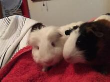 Lovely breeding pair of Guinea pig West Ryde Ryde Area Preview