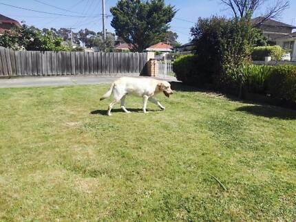 Trained labrador retriever - Golden Male