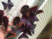 Oxalis Triangularis Purple Black Border 3-4 Leaf Houseplant, Sent Bare Rooted -  - ebay.co.uk