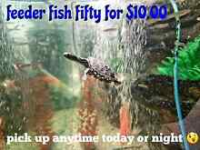 Fresh water feeder feeder fish can be picked up to day Cambridge Gardens Penrith Area Preview