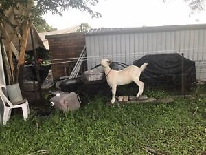 2 x Goats for sale - breed unknown