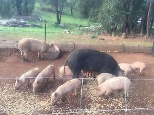 Pigs for sale Donnybrook Donnybrook Area Preview
