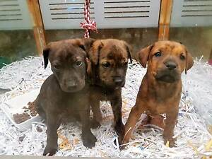MASTIFF X AMSTAFF PUPS WANTING YOUR FAMILIES LOVE Kalamunda Kalamunda Area Preview