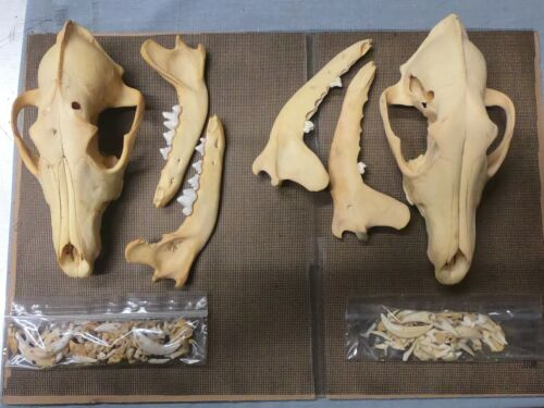 2 Taxidermy SKULLS  coyote 8 1/2 inches HUGE both for one money