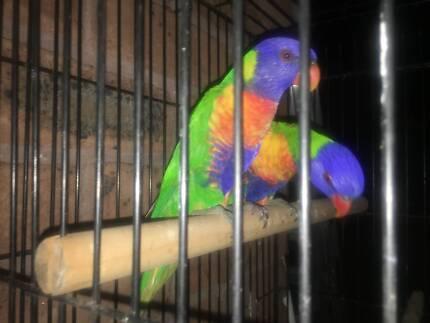 Rainbow lorrikeet pair with avg cage
