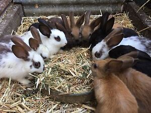Bunnies for sale Willawarrin Kempsey Area Preview