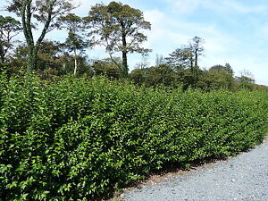 20 Green Privet Hedging Plants Ligustrum Hedge 40-60cm,Dense Evergreen,Big Pots