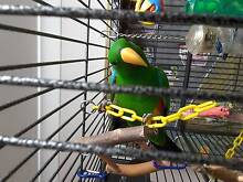 ECLECTUS MALE - HAND RAISED - SUPER FRIENDLY Wellington Point Redland Area Preview