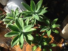 Healthy agave for sale Palm Beach Gold Coast South Preview