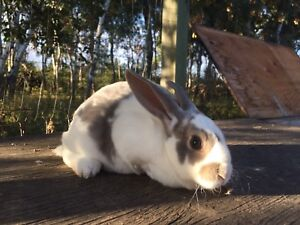 Bunnies for Sale - Pets or Pot!