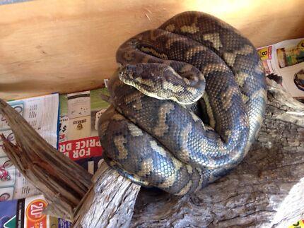 Carpet Python with Enclosure and Heat Lamp Urangan Fraser Coast Preview