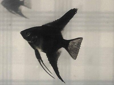 12 Black Angels  ( dime to nickel size ) DOUBLE BLACK ( 12 FISH)   NO RESERVE