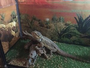 BEARDED DRAGON & TOTAL SET UP Glenelg East Holdfast Bay Preview