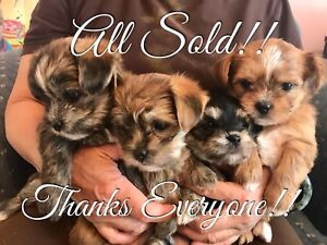 Tiny Shorkie F1 Puppies - All Sold! Thanks Everyone!