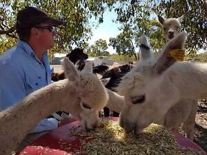 Alpaca Pets Herd Guards Lawnmowers Gidgegannup Swan Area Preview
