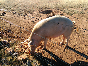 Pigs for sale Narrabri Narrabri Area Preview