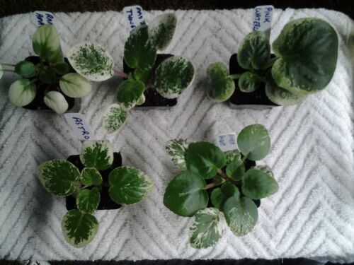 African Violet Plants - Five Variegated Starters - See description below
