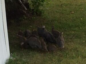 Guinea hens for sale