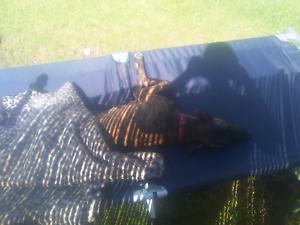 5 month old staffie x mastif Mount Barker Plantagenet Area Preview