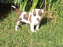 READY NOW Purebred American am staff puppy -  Female Latrobe Latrobe Area Preview