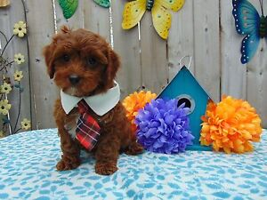 Ruby Red Cavapoo Puppies!!!